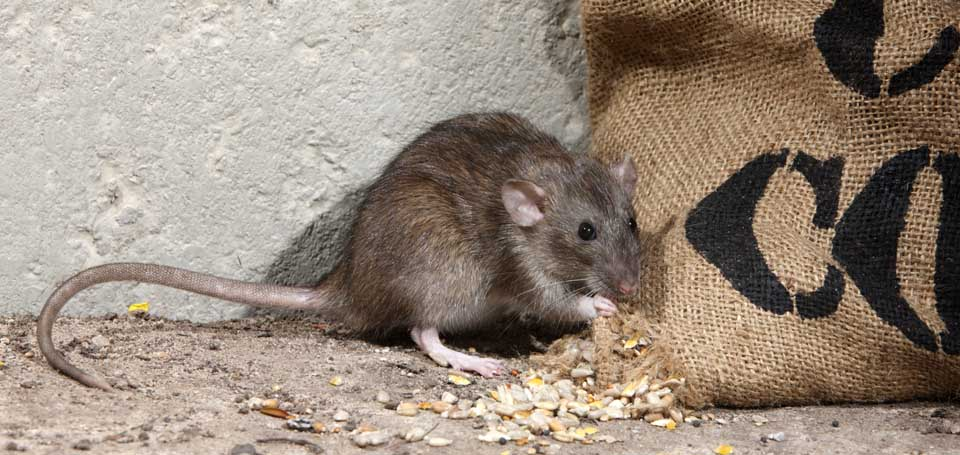 organic mouse repellent