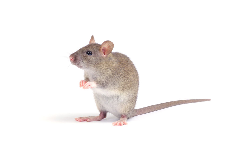 what is the best natural rodent repellent?